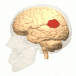 Anatomical diagram of brain