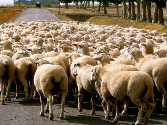 Social media bias is like following sheep